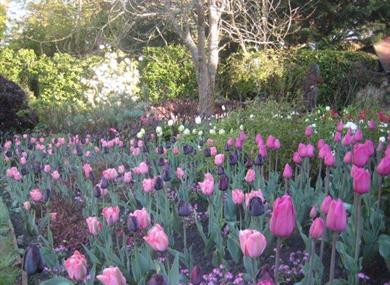 Tulip Festival at Pashley Manor Gardens